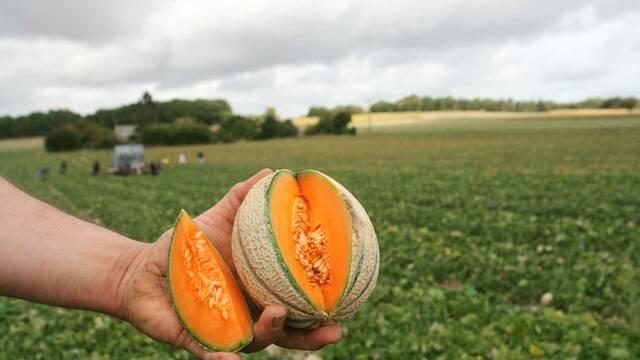 Coup de chapeau au melon du Haut-Poitou