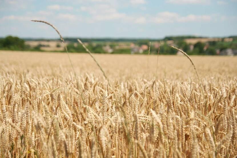 champ de blé sénillé saint sauveur vienne 86 poitou