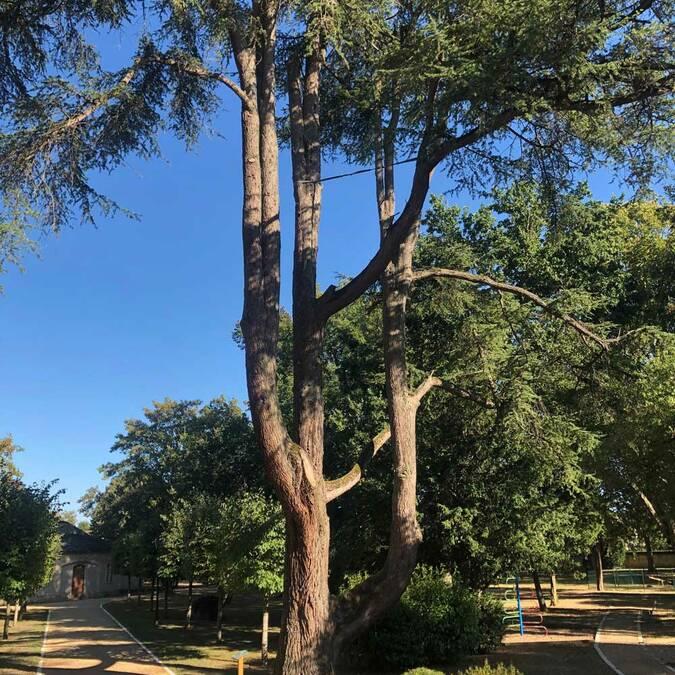 Les Ormes : Cèdre de l'Atlas dans le parc de la mairie