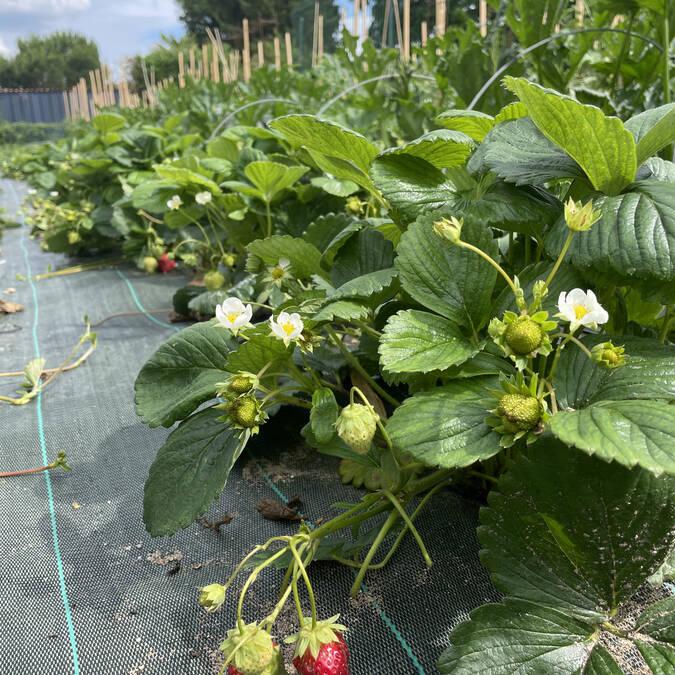 Les fraises cultivées par Stéphanie Plault à Ingrandes